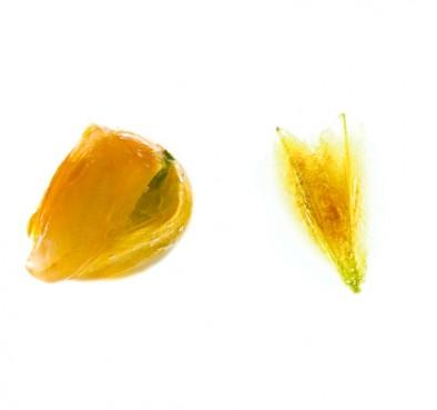 Pictorial. Тюльпан в желтом